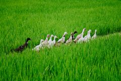 Ducks march in the fields royalty free stock photography