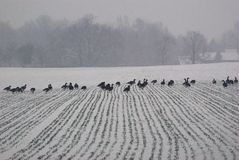 Ducks marching in a line across a snow covered field on a snowy winter day. Grey, cold looking day, snow, lines in stock photo