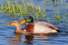 Ducks mating Royalty Free Stock Photography