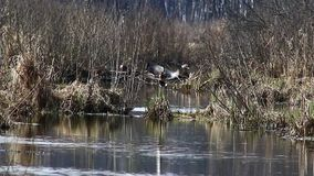 Ducks in the mating season, in April, swim in the Creek, in the national Park `elk island`, Moscow, Russia. 2019 stock video footage