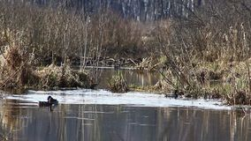 Ducks in the mating season, in April, swim in the Creek, in the national Park `elk island`, Moscow, Russia. 2019 stock footage