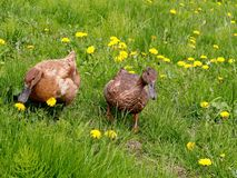 Ducks in the meadow. A male and female Khaki Campbell ducks forage in a field of grass and dandelions Royalty Free Stock Images