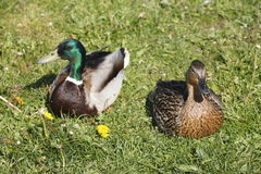 Ducks on a Meadow Stock Image