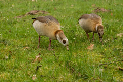 Ducks on a meadow Stock Photography