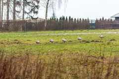Ducks on the meadow with trees in the background. Agriculture and animal theme. Ducks on the meadow with trees in the background. Agriculture and animal theme Stock Photography