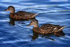 Ducks at Minnewaska State Park. Reserve Upstate NY during summer time Royalty Free Stock Image