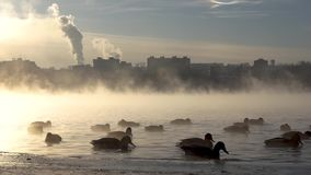 Ducks on the misty. stock footage