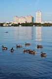 Ducks, Moscow river. Group of ducks swimming in Moscow river, beautiful view on skyline in background Stock Image