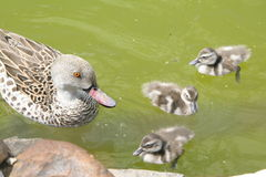 Ducks. In the Moscow's zoo Royalty Free Stock Photography