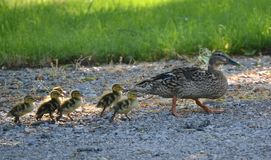 Ducks. A Mother duck and her baby chicks Royalty Free Stock Photography