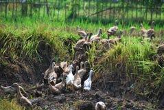 Ducks in mud in rice field Bali Royalty Free Stock Image