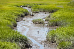 Ducks in a Muddy Stream. In the marshes Stock Image