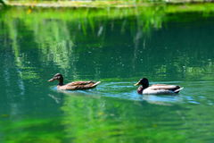 Ducks and nature. Two little ducks swimming on a lake in North Italy, with a peaceful background Royalty Free Stock Images