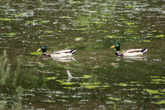Ducks a natureza Fotografia de Stock Royalty Free