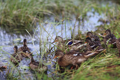 Ducks near pond Royalty Free Stock Images