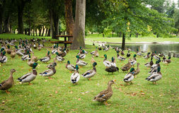 Ducks near a pond. A flock of ducks stands near a pond Stock Photography