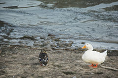 Ducks near the river Stock Photography