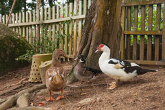 Ducks, near the wooden fence Royalty Free Stock Photo
