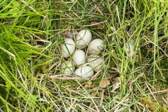 Ducks nest closeup Stock Photo