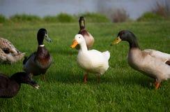Ducks. New Zealand farming image - Mallard ducks Royalty Free Stock Photos