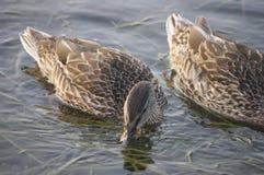 Ducks on Niagara River Royalty Free Stock Photos