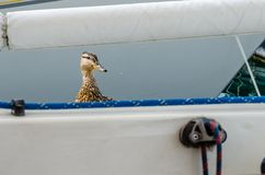 A female duck is looking over the edge of the boat royalty free stock photo