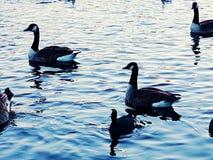 Ducks o duckpond do lago do patinho Imagens de Stock Royalty Free