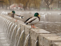 Ducks On A Pond In A Foggy Morning Royalty Free Stock Photos