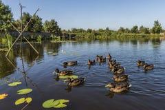 Free Ducks On Lake Stock Photo - 102804010