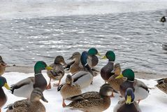 Free Ducks On Snow Royalty Free Stock Images - 134803679