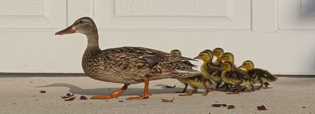 Ducks out of water Stock Image