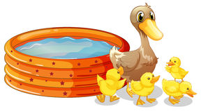 Ducks beside paddling pool Royalty Free Stock Images