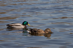 Ducks. A pair of beautiful ducks swimming in clear water Stock Image