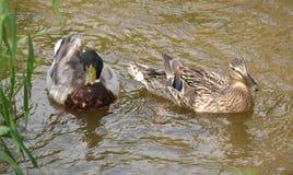Ducks. A pair of Mallard Ducks Royalty Free Stock Image