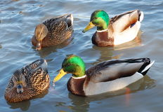 Ducks in pairs.... Royalty Free Stock Photography