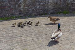 Ducks parenting over their baby ducks on a fortified city wall in Maastricht stock photos