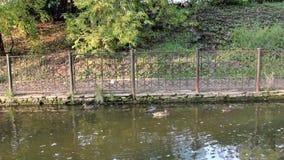 Ducks in the park `Garden of Eden`, Perm. Russia stock footage