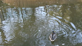 Ducks in the park `Garden of Eden`, Perm. Russia stock video footage