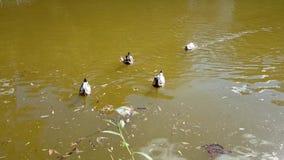 Ducks stock video