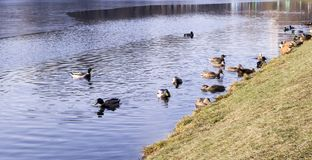 Ducks on the park lake at late autumn. background, animals. Ducks on the park lake at late autumn, winter. background, animals Royalty Free Stock Images