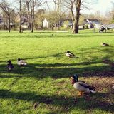 Ducks in a park Royalty Free Stock Images