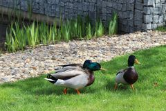 Ducks in park Royalty Free Stock Images
