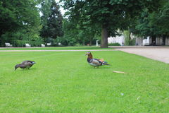 Ducks in the park Royalty Free Stock Photos