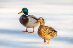 Ducks passing through the ice. Stock Photos