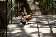 Ducks on pedestrian bridge Stock Photos