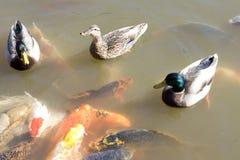 Ducks peixes do koi na lagoa Imagem de Stock