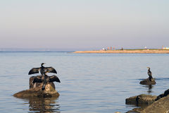 Ducks phalacrocorax capillatus (temmincks cormorant). Cormorant phalacrocorax capillatus family have a rest near of a beach Stock Images