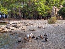 Ducks - Phaselis bay - Çamyuva, Kemer, coast and beaches of Turkey Stock Images