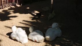 Ducks at Phu Quoc island, Kien Giang province, Vietnam. Baby and big Ducks lying in coop, Phu Quoc island, Kien Giang province, Vietnam. Phu Quoc is blessed with stock video