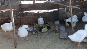 Ducks at Phu Quoc island, Kien Giang province, Vietnam. Baby and big Ducks lying in coop, Phu Quoc island, Kien Giang province, Vietnam. Phu Quoc is blessed with stock footage